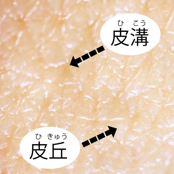 顔汗サロン 皮膚の構造